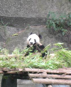 china-panda-bambus